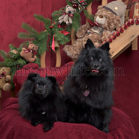 Black german spitz sitting, in christmas decorations