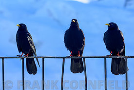 Three black birds also known as Alpedohle on the Gornergrat, near Zermatt in Switzerland.