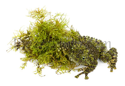Mossy Frog next to Moss, Theloderma corticale, also known as a Vietnamese Mossy Frog, or Tonkin Bug-eyed Frog, against white ...