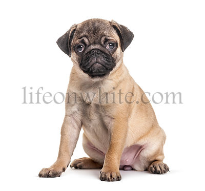 Young pug, puppy, sitting, isolated on white