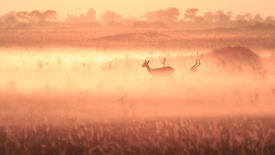 Red Lechwe Sunrise IV