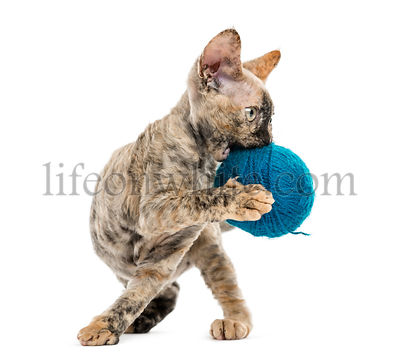 Devon rex carring a wool ball isolated on white