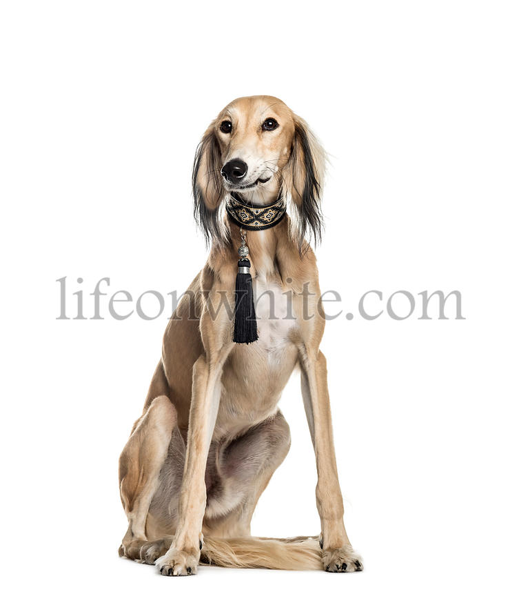 Saluki, 11 months old, sitting in front of white background