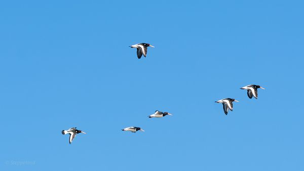Oystercatchers flying over