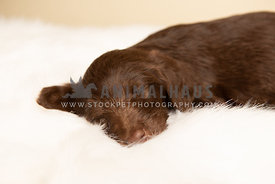 Sweet little lab puppy lying on white blanket