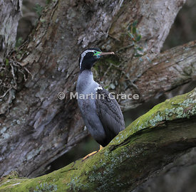 Spotted Shag (Blue Shag) (Stictocarbo punctatus), Stewart/Rakiura & Ulva Islands, South Island, New Zealand