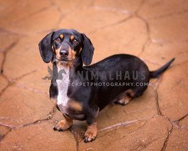 Black and tan doxie looking up from terra cotta flagstone making eye contact