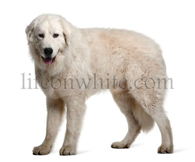 Maremma Sheepdog, 1 Year Old, standing
