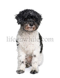 Harlequin poodle, 12 years old, in front of white background