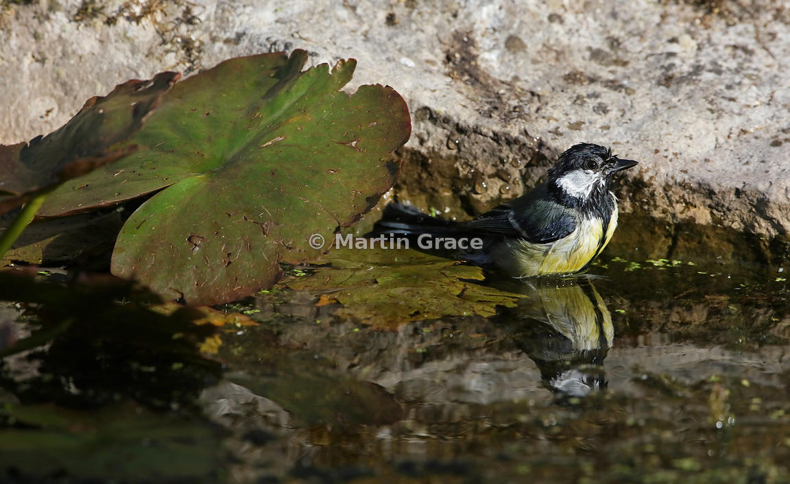 Great Tit (Parus major) pauses while bathing in the garden pond, Lake District National Park, Cumbria, England