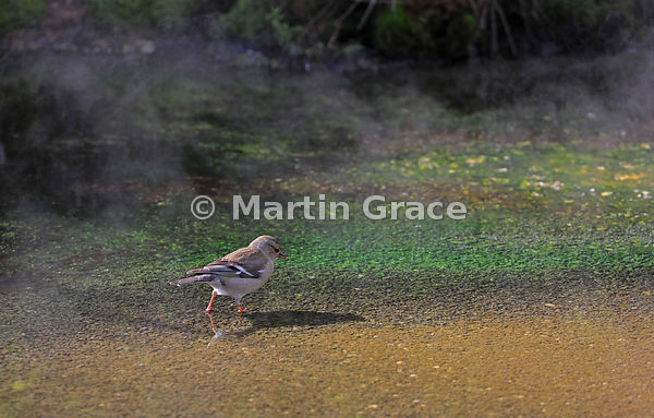 Female Common Chaffinch (Fringilla coelebs) foraging in a steaming hot volcanic spring, Waimangu Volcanic Valley near Rotorua...