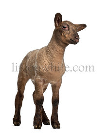Lamb standing against white background