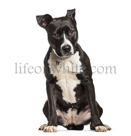 American Staffordshire Terrier , 2 years old, sitting against white background