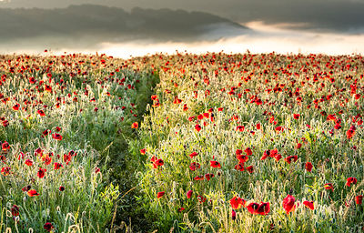 Through the poppy field