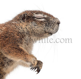 Cape Ground Squirrel, Xerus inauris, against white background