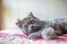 Sleepy scottish fold kitten looking at camera