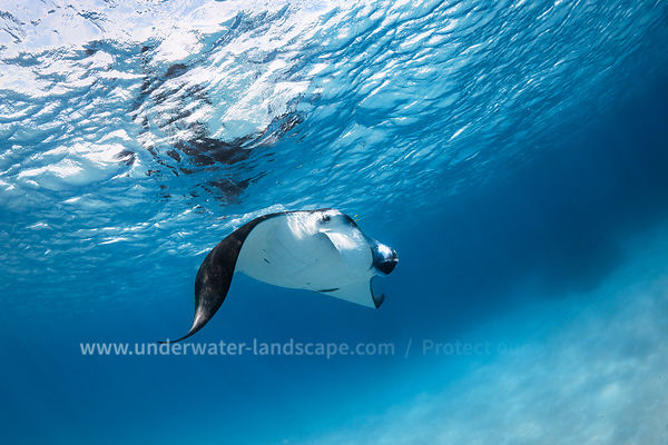Mayotte reef manta ray