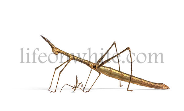 Young and adult Horsehead Grasshoppers, Pseudoproscopia scabra, in front if white background