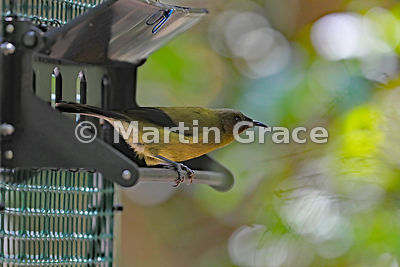 Bellbird (Anthornis melanura) leaving a sugar feeder, Tiritiri Matangi, Hauraki Gulf, Auckland, North Island, New Zealand