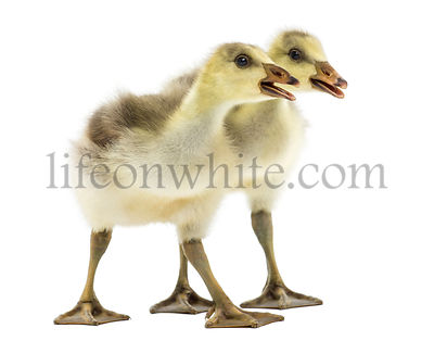 Side view of two Bar-headed goslings quacking, isolated on white