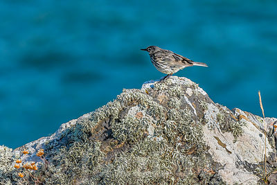 Meadow pipit perched on rock