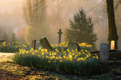February daffodils at Spital cemetery