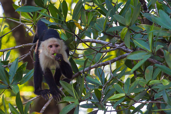 White-faced Capuchin 2