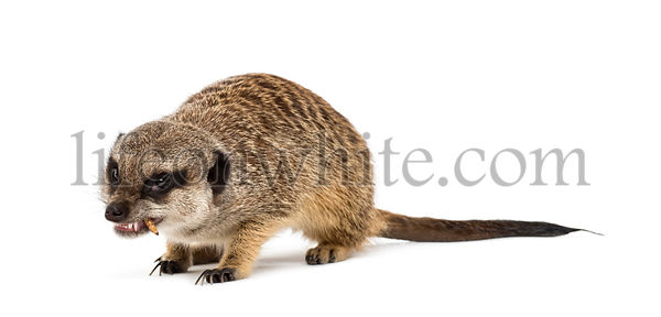 Suricate chewing food, isolated on white