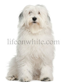 Tibetan Terrier, 1 year old, sitting in front of white background
