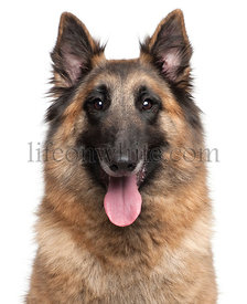 Close-up of Belgian Shepherd, Tervuren, 4 years old, in front of white background