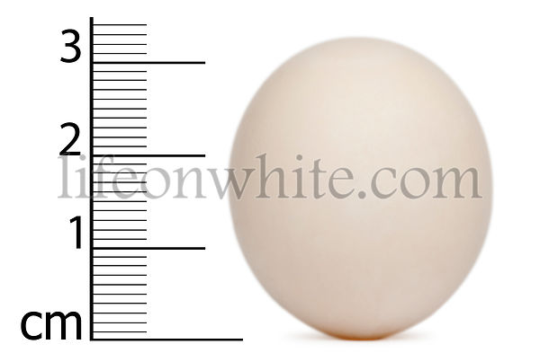 Egg of Cape Parrot with measurements, Poicephalus robustus, in front of white background