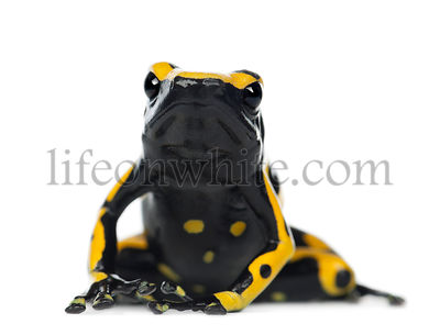 Yellow-Banded Poison Dart Frog, also known as a Yellow-Headed Poison Dart Frog and Bumblebee Poison Frog, Dendrobates leucome...