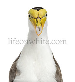 Close-up of a masked lapwing, isolated on white