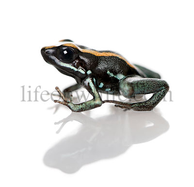 Side view of Golfodulcean Poison Frog, Phyllobates vittatus, against white background, studio shot