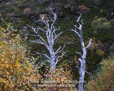 Image - Dead Scots Pine trees, Beinn Eighe National Nature Reserve, Wester Ross, Highland, Scotland