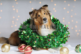 Shetland Sheepdog with Christmas Wreath