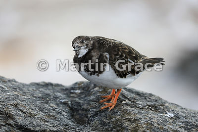 Ruddy Turnstone (Arenaria interpres) in winter plumage checking the sky for possible predators, Sidmouth, Devon, England