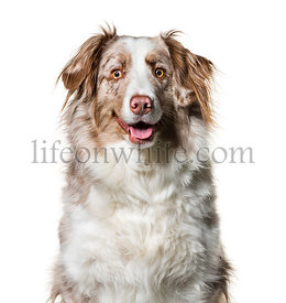 Border Collie , 2 years old, looking at camera against white background