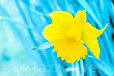 Daffodil nature abstract.