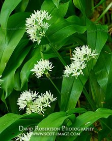 Image - Wild Garlic, Allium ursinum.