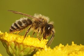 Closeup of a male Chocolate mining bee , Andrena scotica on yellow flowers of Tanacetum vulgare