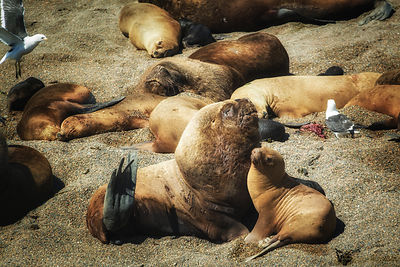 Idyllic moment in the harsh marine life of a bunch of sea lions (Otaria flavescens) on the coast of the Peninsula Valdes at P...