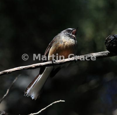South Island subspecies of New Zealand Fantail (Rhipidura fuliginosa ssp fuliginosa) singing in angled sunlight, clearly show...