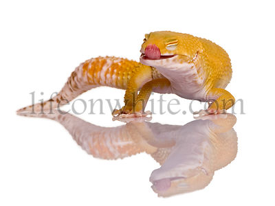 Leopard gecko with tongue out, Eublepharis macularius, in front of white background