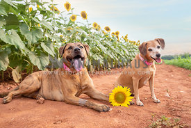 two mixed breed dogs in front of sunflower field