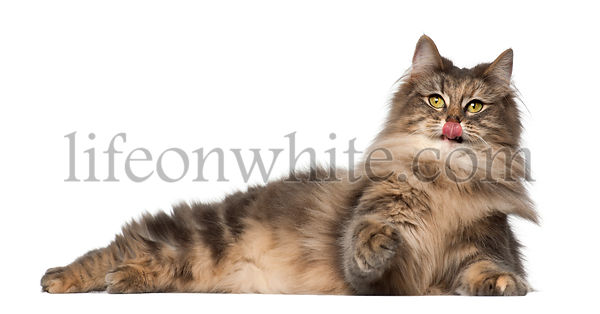 Norwegian Forest Cat, 1 and a half years old, lying against white background