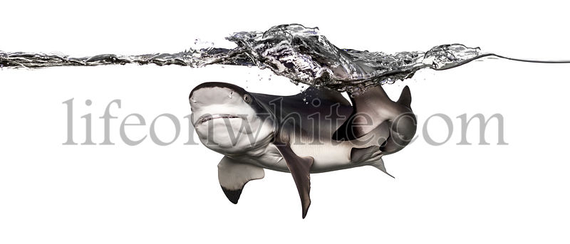 Blacktip reef shark viewed from below, swimming at the surface, making waves, Carcharhinus melanopterus, isolated on white