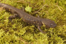 Closeup of the Michoacan Stream salamander Ambystoma rivulare on green moss