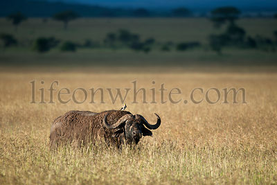Buffalo at the Serengeti National Park, Tanzania, Africa