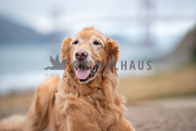 close up of old golden retriever laying on the beach